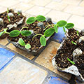 Egg Carton Seed Starters for Earth Day!