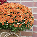 Mums The Word! 2 Ways To Complement Mother Nature's Fall Foliage